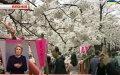 Японія, Китай і Південна Корея сперечаються через сакуру
